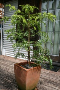 live potted tree Mt Kembla Permaculture Visions