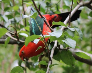 king parrots eating pears