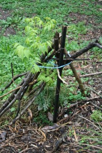 multipurpose branches support and protect saplings