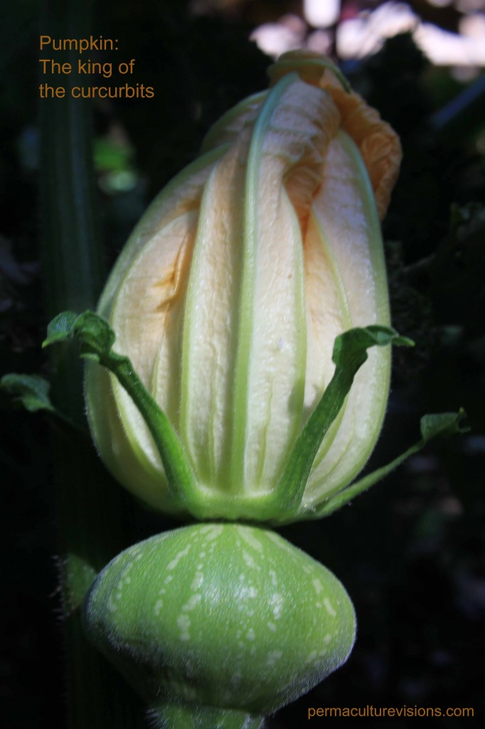 king of curcurbits