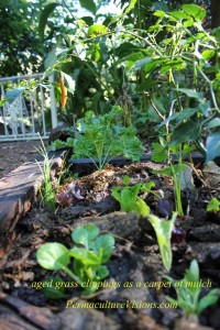 vegies growing in old chook run with composted lawn clippings as mulch