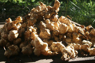 Jerusalem Artichokes sunning to improve sugars
