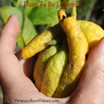 budha citrus fruit