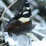 citrus_butterfly