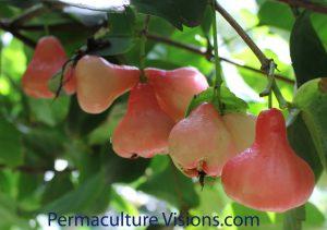 Malay Apple - Syzygium malaccense