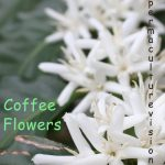 coffee tree flowers