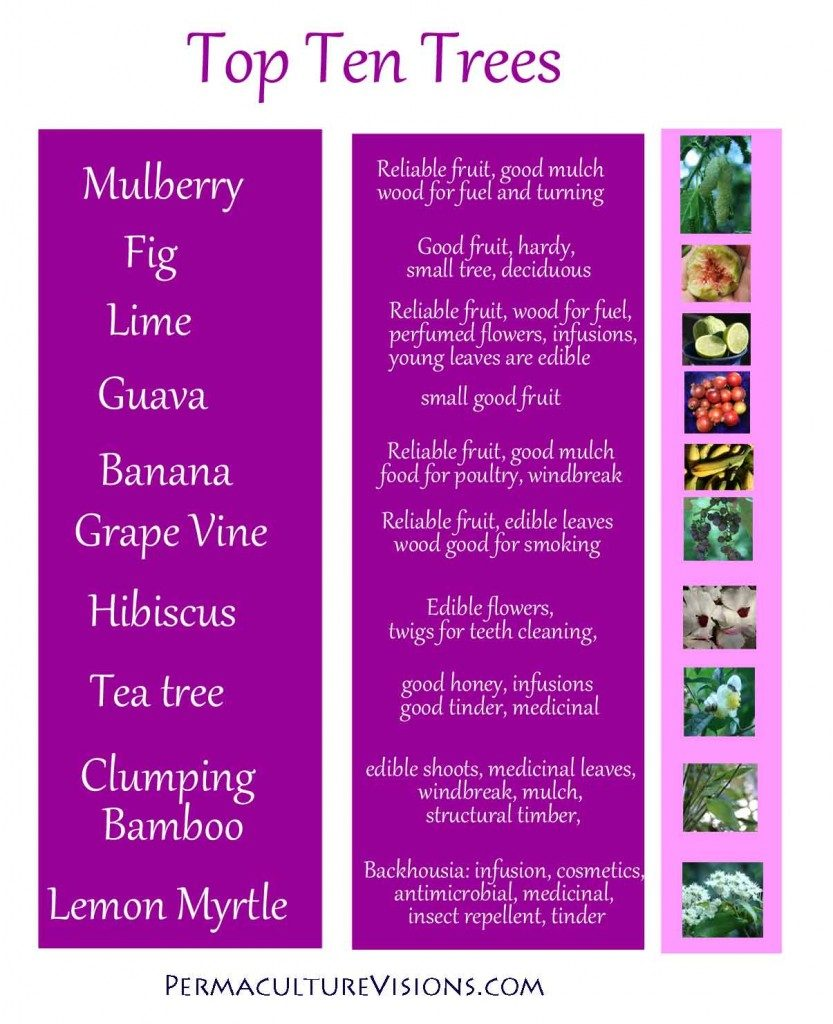 our top trees: mulberry, fig, limes and lemons, guava, bananas (actually a tall grass), Grape vine (hangs in the macadamia trees, Hibiscus, tea tree (these are just shrubs but big in our eyes, lemon and aniseed myrtle. (excellent tea)