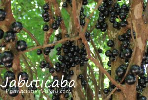 Jabuticaba - a decorative shrub with yummy fruits for a gift