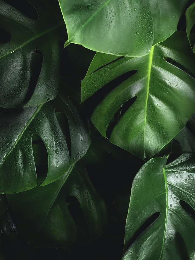 permaculture plants -Monstera Deliciosa