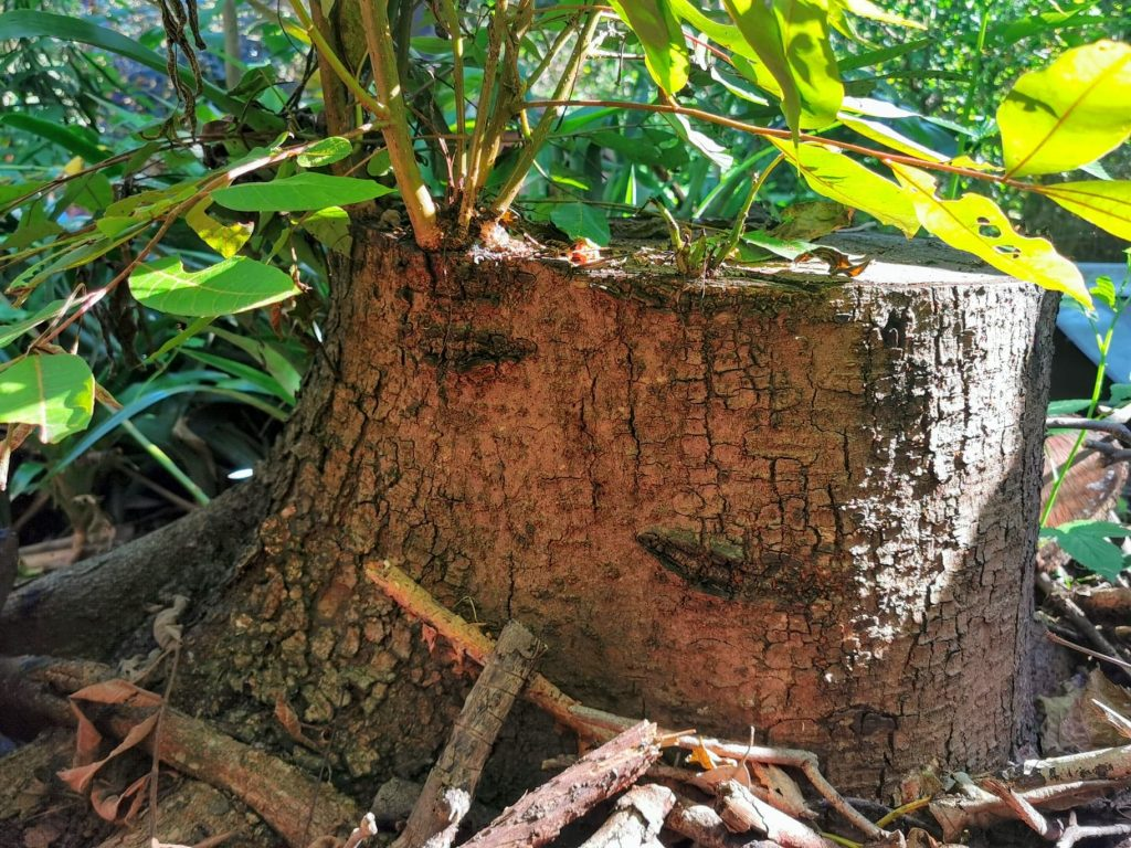 Red cedar stump regrowing at our permaculture demonstration site in Mt Kembla NSW Australia